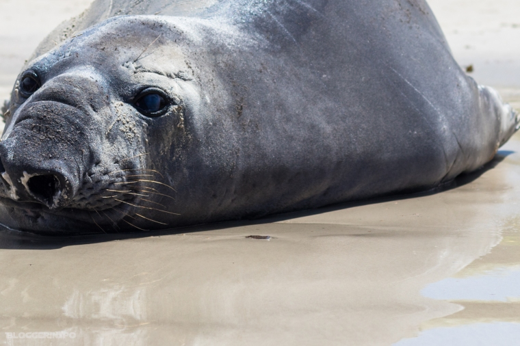 Bloggerinspo - Elephant seal cape town